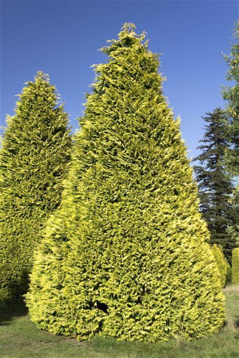 ornamental conifers free stock photos rgbstock free stock images ornamental conifers micromoth august 31