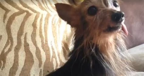 Miniature  Ee  Yorkshire Ee    Ee  Terrier Ee   Yorkie Saved From Puppy Mill Needs A Loving Home