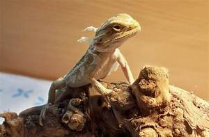 bearded dragon shedding process what to expect With how often do bearded dragons go to the bathroom