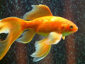 Free Photo  Veiltail  Fish  Goldfish  Swim - Free Image On Pixabay