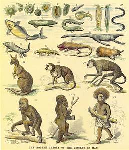 1876 - Ernst Haeckel's chart on human evolution. There are ...