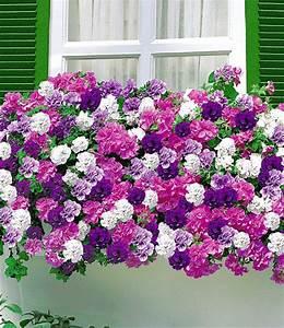 Ich Suche Garten : h nge petunien 39 viva 39 doppelt blau petunien bei baldur ~ Whattoseeinmadrid.com Haus und Dekorationen