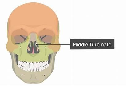 Ethmoid Perpendicular Bone Plate Turbinate Anterior Middle