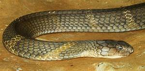 Orlando's missing king cobra now has two Twitter handles ...