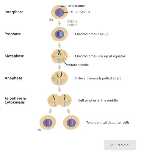 What Is Mitosis?  Facts Yourgenomeorg