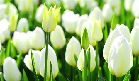 wallpaper  bunga tulip richi wallpaper