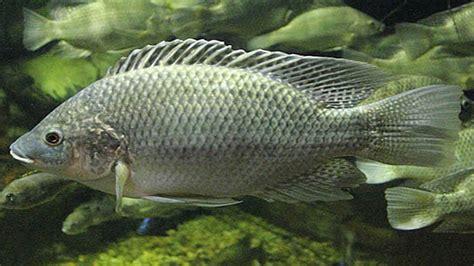genetic key salt tolerance discovered tilapia fish uc davis