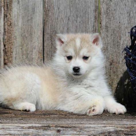 Huskimo Puppies For Sale Dog Breed Profile Greenfield Puppies