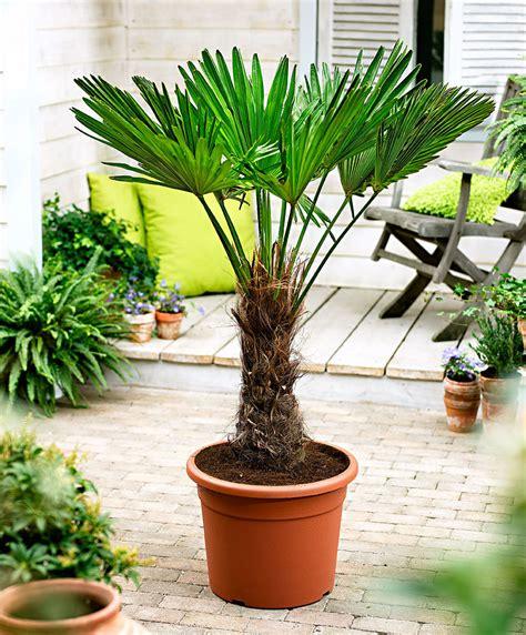 achetez maintenant une plante en pot palmier de chine
