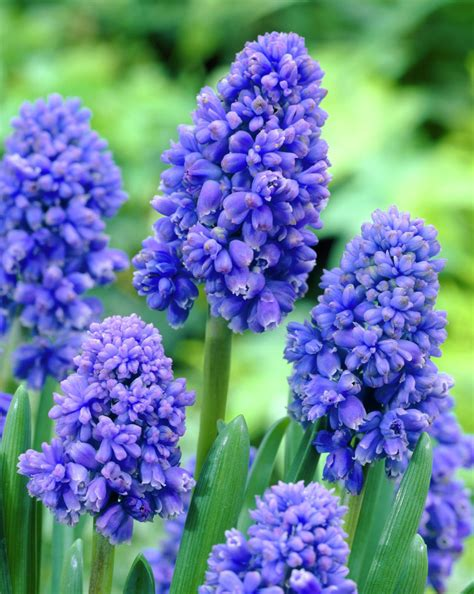 Blue Grape Hyacinths Muscari