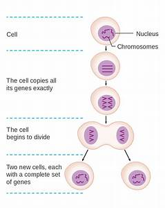File Diagram Showing How New Genes Are Made For New Cells