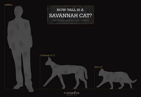 Savannah Cat Size,diet,temperament,price