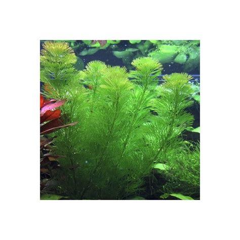 plantes aquarium croissance rapide cabomba aquatica en bouquet x5 plante pour aquarium