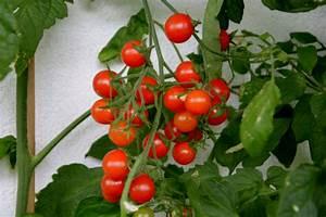 Bohnen Anbauen Anleitung : tomaten d ngen tomaten d ngen darauf m ssen sie achten ~ Whattoseeinmadrid.com Haus und Dekorationen