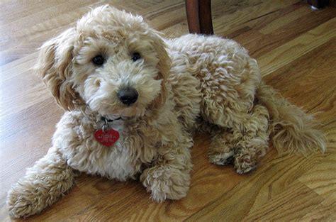 do bichon poodles shed bichon x poodle breeds picture