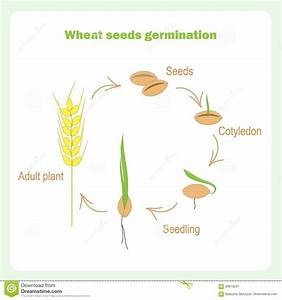 Scheme Of Wheat Seed Germination  Learning Biology Cartoon