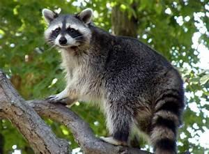 Animal You: Raccoon