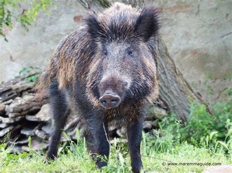 More Maremma Wild Boar Pictures And
