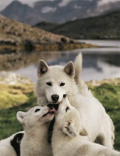 Husky Gifs Puppies Dog Wolfs Lobos Might