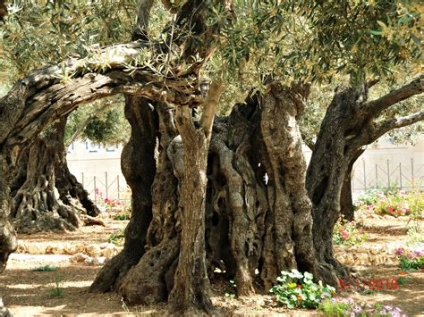 Garden Of Gethsemane Ideas  Architecture Decorating Ideas