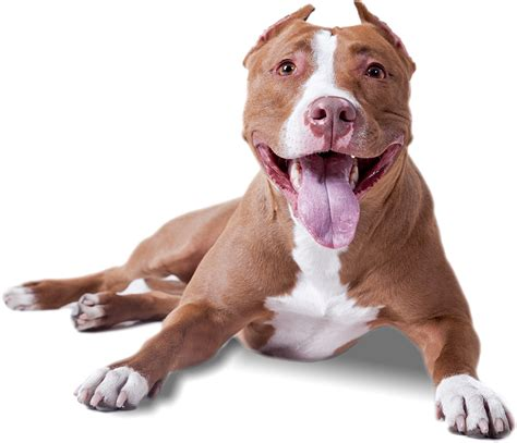 pit pictures images photos blog do pit bull american pit bull terrier sigla apbt pitbull