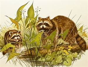 17 Best images about Raccoon on Pinterest | Adorable ...