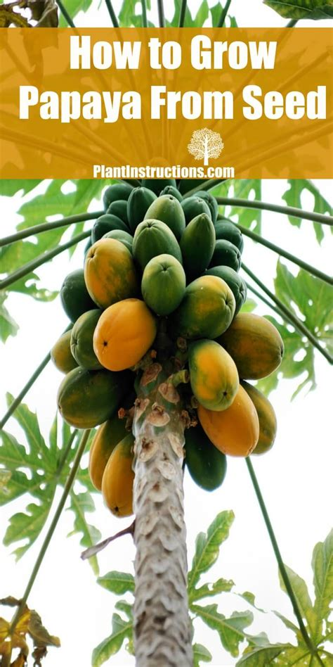 How To Grow Papaya From Seed  Plant Instructions
