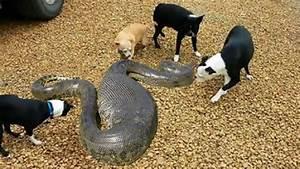 Dog vs Anaconda, Snake, Python Real Fight Animal Attacks ...