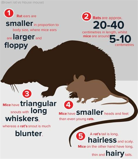 difference between rat and mouse brown rat or house mouse which did i just see debugged
