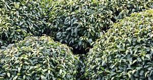 Wie Kirschlorbeer Schneiden : portugiesischen kirschlorbeer pflanzen pflegen und schneiden informationen tipps tricks ~ Markanthonyermac.com Haus und Dekorationen