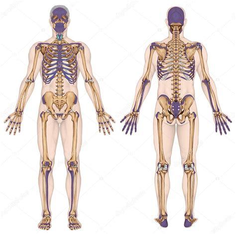 schmerzen rippen links anatomical human skeleton anatomy of human bony