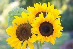 Big And Small Sunflower Varieties