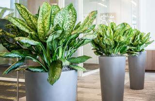 tanaman hias ruangan indoor terbaik