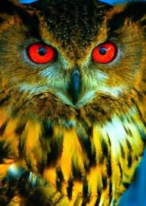 Owl Eye Color Different