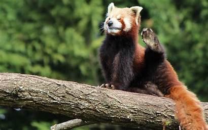 Panda Animal Pandas Wallpapers Wallpapersafari Code