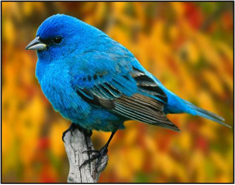 bird of the month indigo bunting the rock pile garden