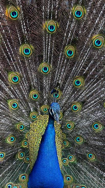 Peacock Bird Animal Iphone Wallpapers Android As05