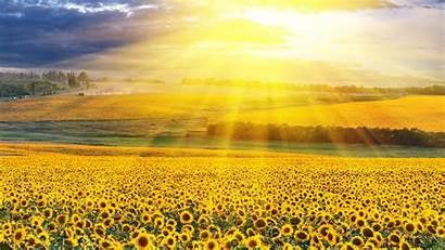 Yellow 4k Field Background Sunflowers Flowers Sunbeam