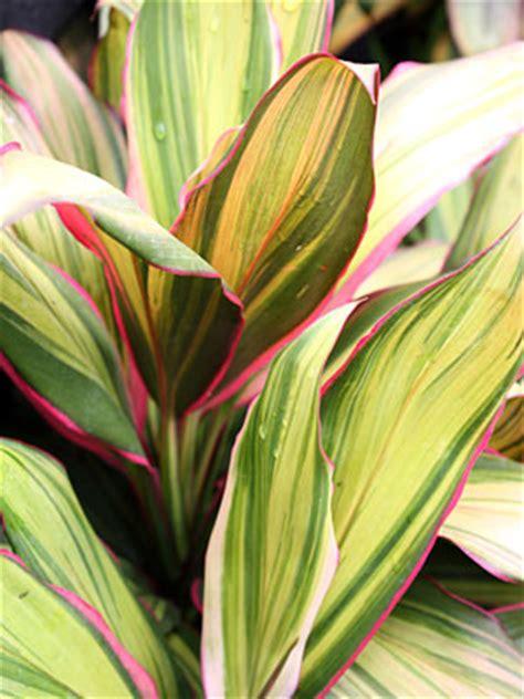 spotlight colors  cordyline plant propaganda