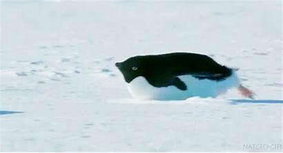 Penguin Sliding Belly Chubby Penguins Slide Fat