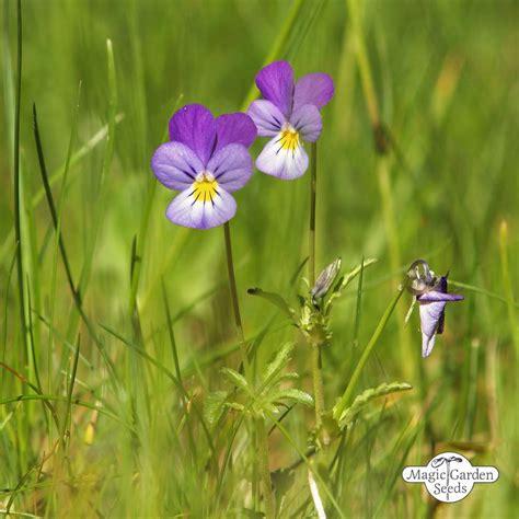 wildes stiefmuetterchen ackerveilchen viola tricolor