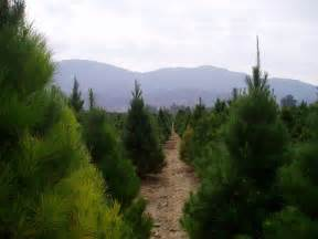 la farm girl real christmas trees come from farms
