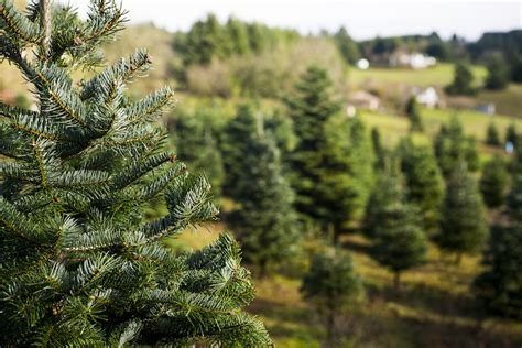 can you trim a christmas tree 20 farms near philadelphia where you can cut your own tree philadelphia magazine