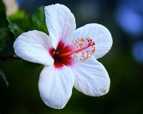 hibiscus flower  shot   time  uganda