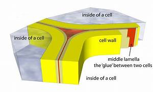 Useful Notes on the Chemical Nature of Cell Wall | Biology