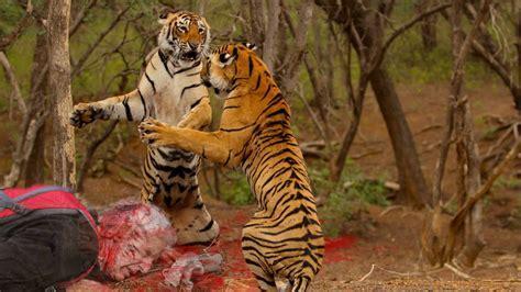 Most Shocking Animal Attacks On Human   Tiger Attack Human