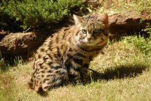 black footed cat black footed cat facts big cat rescue