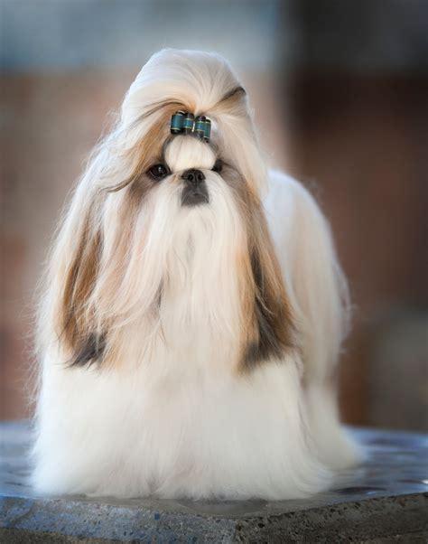 Shih Tzu Puppies Long Hair
