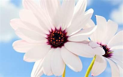 Daisies Flowers Wallpapers