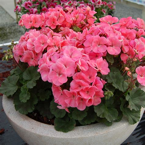 picture of flowering plant flowering plants to grow indoors official blog of park seed
